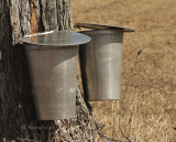 Collecting Maple Sap - Old method,  Northumberland County MR9 #9217