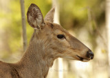 White-tailed Deer Portrait MY9 #2741