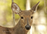White-tailed Deer Portrait MY9 #2742
