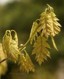 Spring Leaves MY9 #9110