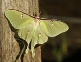 Actias luna - Luna Moth MY9 #9449