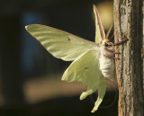 Actias luna - Luna Moth MY9 #9475