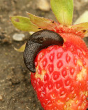 Strawberry with Slug JN9 #0379