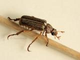 Dichelonyx albicollis JN9 #1397