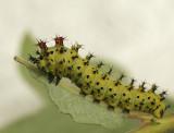 Hyalophora cecropia JN9 #1577