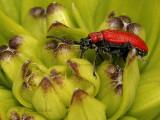 Lily Leaf Beetle JN9 #4806