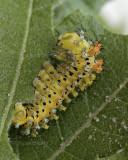 Hyalophora cecropia - third instar  JN9 #8101