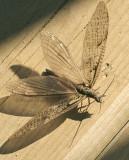 Fishfly JL9 #1870