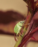 Green Immigrant - Leaf Weevil  JN9 #5347