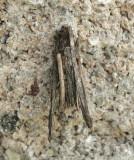 Bagworm - Psyche casta  JN9 #6862