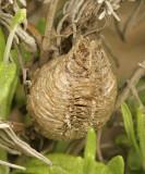 Praying Mantis Egg Case JN9 #0587