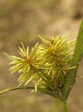 Cyperus strigosus - Straw-colored cyperus  JL9 #3441