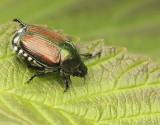 Japanese Beetle - Popilla japonica  AU9 #2517.