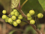 Poison Ivy seeds AU9 #2620