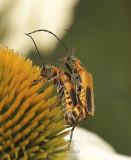 Philadelphia Leatherwing - Chauliognathus pennsylvanicus AU9 #2995