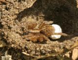 Wolf Spider AU9 #5775