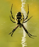 Black and Yellow Argiope AU9 #7416