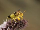 Jagged Ambush Bug AU9 #4024