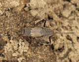 Striped Ground Cricket - Allonemobius fasciatus - AU9 #4096