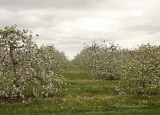 Apple Orchard -Grafton MY10 #1161