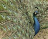 Peacock MY10 #0215