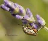 Rose Chafer - Macrodactylus subspinosus  JN10 #5750