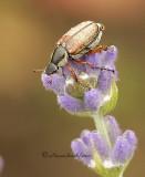 Rose Chafer - Macrodactylus subspinosus  JN10 #6400