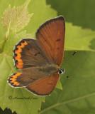 Bronze Copper - Hyllolycaena hyllus JL10 #2733