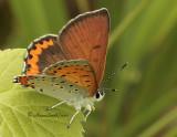 Bronze Copper - Hyllolycaena hyllus JL10 #2701