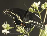 Black Swallowtail S10 #8034