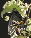 Black Swallowtail S10 #8014