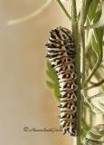 Black Swallowtail AU10 #5117