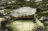 Red-eared Turtle S10 #0580