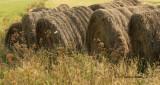 Hay Bales-Tantramar Marsh  S10 #8270