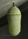 Monarch chrysalis S10 #0391