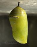Monarch chrysalis S10 #0380