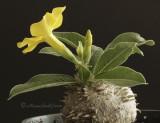 Pachypodium horombense S10 #1127
