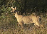 White-tailed Deer S10 #7608