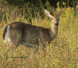 White-tailed Deer S10 #7572