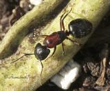 Camponotus novaeboracensis S10 #9243