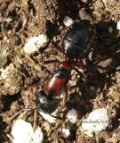 Camponotus novaeboracensis S10 #9272