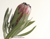 Protea nerifolia D10 #2835