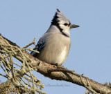 Crows, Jays and Magpies