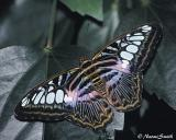 Parthenos sylvia-blue