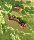 Eacles imperialis 1st and 2nd instar