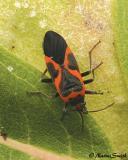 Small Eastern Milkweed-Bug