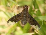 Bee Fly-Hemipenthes sinuosa