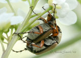 Rose Chafers Mating-Macrodactylus subspinosus #3127