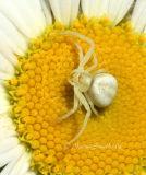 Crab Spider #2522