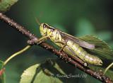 Melanoplus biviattus female